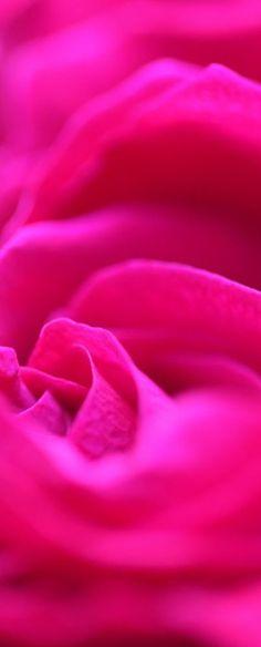 A beautiful Fushia Rose for my Rose~