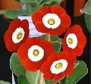 Self Show Auricula.  For more on using colors effectively in planting design - check this out:  http://www.my-garden-school.com/course/designing-with-plants/