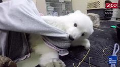 A zoo in Ohio has just welcomed a new baby Polar bear, one of only two born in…