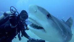 INCREDIBLE VIDEO OF DIVERS DIVE UNDERWATER TO FEED TIGER SHARKS!