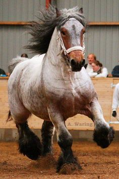 "Bay roan Brabant stallion ""Rufus""  Photo by A. Waring"