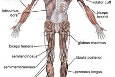 Muscle posterior labeled in Muscles