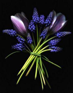 Muscaris & tulips