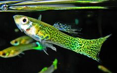Types of Guppies | guppy breeding, species, guppy tank, fancy guppy and All About Guppies Fact