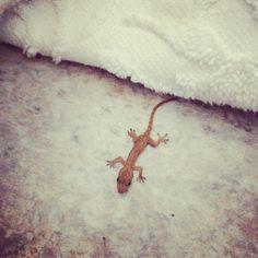 Baby lizard Australia