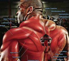 4 Back Workout Plan To Help Sculpt Sexy Back & Shoulder – Lasting Training dot Com Upper Back Exercises, Upper Back Muscles, Traps Workout, Workout Guide, Dumbbell Workout, Bodybuilder, Best Chest Workout Routine, Workout Routines, Fitness Routines