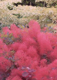 Cotinus 'Ruby Glow' smoke bush  A new, more compact form