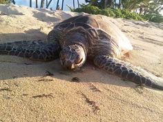 Honu (Hawaiian green sea turtle) spotted on #Oahu's North Shore