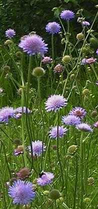 Ruusuruoho, åkervädd, Field Scabious, Knautia arvensis, niittykasvit, kedot, ahot, niityt