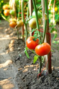 How to Prune a Tomato Here are six good reasons to prune tomatoes: To grow more flavorful tomatoes. To grow larger tomatoes. To grow more tomatoes over the length of a season. To keep plant leaves and fruits off the ground and away from pests, insect damage, and fungal disease. To keep plants smaller and more compact. To allow tomatoes on the plant at the end of the seas.