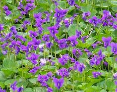 Wisconsin designated the diminutive and delicate wood violet (Viola papilionacea) as the official state flower in 1909.