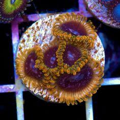 Acid Reflux Palys: Cherry Corals