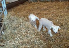 Lammetjes in de Schaapskooi