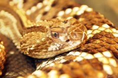 2011 pittsburgh zoo, PA aruba island rattlesnake no crop, got that close. well, through glass anyway -- click on image for full size - tis pretty! do not take w/o permission