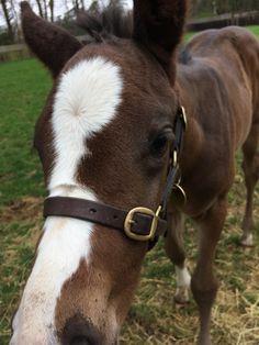 Just a curious foal http://ift.tt/2qZ1wDU