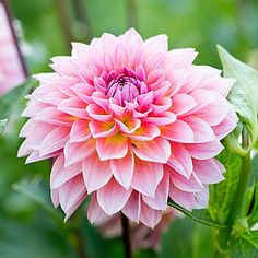 Dahlia - Best Bouquet Flowers to Grow - Sunset