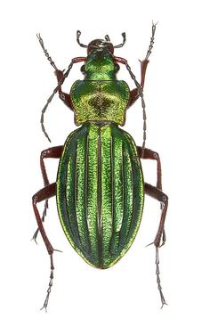 Carabus (Chrisocarabus) auronitens – Carabidae