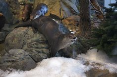 Otters play in the new snow in their exhibit at the Aquarium of the Bay in San Francisco, Calif., on Wednesday, December Photo: Liz Hafalia, The Chronicle Birth Giving, Monterey Bay Aquarium, Ferret, Otters, Exhibit, Mammals, Wednesday, Pup, San Francisco