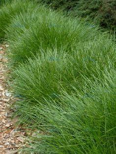 grasses australian native - Google Search