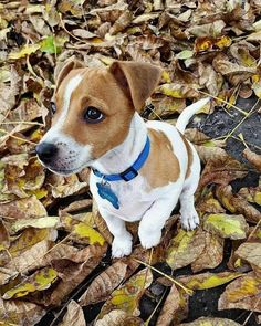 Jack Russell Terrier Puppies: Pictures And Facts - Dogtime Perros Jack Russell, Jack Russell Puppies, Jack Russell Terriers, Cute Puppies, Cute Dogs, Dogs And Puppies, Doggies, Maltese Puppies, Chihuahua Dogs