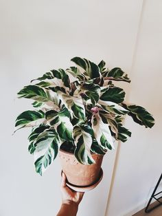 Inside Plants, Cool Plants, Green Plants, Tropical Plants, House Plants Decor, Plant Decor, Plantas Indoor, Calathea Plant, Macrame Plant