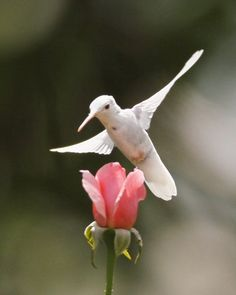 Albino Ruby-Throated Hummingbird pink rose by jodi All Birds, Little Birds, Love Birds, Pretty Birds, Beautiful Birds, Animals Beautiful, Ruby Throated Hummingbird, Rare Animals, Colorful Birds