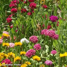 Sweet William Seeds, Dianthus barbatus - Wildflower Seed from High Country Gardens Gypsophila Elegans, Dwarf Sunflowers, Dianthus Barbatus, High Country Gardens, American Meadows, Meadow Garden, Hardy Perennials, Thing 1, California Poppy