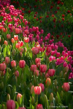 nothing says spring like tulips!