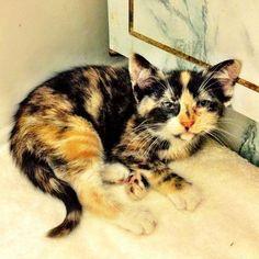cute rescue calico kitten Mercedes