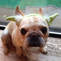 size matters not. look at me. judge me by my size, do you?...French Bulldog.