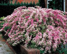Variegated Weigela, Weigela florida 'Variegata'  Incredible Fragrance Attracts Hummingbirds  Easy to grow- sun, shade, drought...Unique blooms last for months and smell great Height: 	3-4 ft. Width: 	3-4 ft. Sunlight: 	Full - Partial Blooms: 	Spring Spacing: 	4-6 ft.
