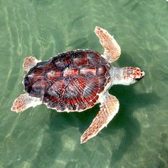 Loggerhead Sea Turtle (Caretta caretta), This oceanic turtle distributed throughout the world. Sea Turtle Nest, Turtle Love, Turtle Shells, Happy Turtle, Reptiles, Lizards, Sea Turtle Facts, Endangered Sea Turtles, Endangered Species