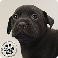 Labrador Retriever/Pit Bull Terrier Mix Puppy for adoption in Troy, Ohio - Bruno
