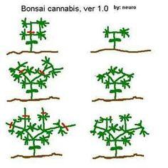 weibliche hanf cannabis bl ten m nnliche hanf cannabis bl ten canna pinterest hanf. Black Bedroom Furniture Sets. Home Design Ideas