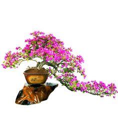 Image from http://nikkibonsai.in/wp-content/uploads/2012/11/Bougainvillea-glabra-at-Nikki-Bonsai.jpg.