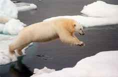 Царь Арктики-белый медведь   Охота и рыбалка