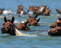 Wild ponies swim across the Assateague Channel during the annual Chincoteague Pony Swim in Virginia on July 27. Said to be the descendants of Spanish horses that swam ashore after a shipwreck, the ponies draw large crowds to the area each year.