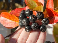 svartsurbaer-barene Blackberry, Fruit, Garden, Food, Garten, Lawn And Garden, Essen, Blackberries, Gardens