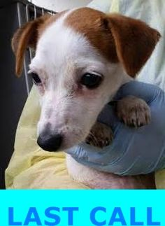 URGENT!! Jack Russell Terrier Puppy with Neurologic Signs, 1715596, Needs Rescue Prior to 4:30 PM on 8/2/15 https://www.facebook.com/urgentdogsofmiami/photos/pb.191859757515102.-2207520000.1438532710./1021655971202139/?type=3&theater