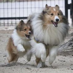 そんなにくっつかなくても(o´艸`) 98ちゃん。  #しーくーはーちゃん #航空公園 #instagramdogs #dog #dogstagram #キャノン #eoskissx8i #all_dog_japan #写真好きな人と繋がりたい #写真撮ってる人と繋がりたい #犬 #愛犬 #愛犬との暮らし #わんこ #いぬ #いぬのいる暮らし #シェルティ多頭飼い #シェルティ #シェルティ大好き #シェットランドシープドッグ #sheltie #shetlandsheepdogsofinstagram #shetlandsheepdog #shelties #sheltiegram #sheltielove #sheltiepower #all_dog_japan #east_dog_japan