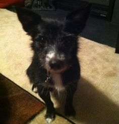 Brenna (former Circus dog!) is an adopted Scottish Terrier Scottie Dog in Mooresville, NC. Little Brenna is one of those awesome dogs that is simply looking for companionship. She loves to go for walk...