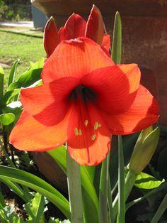alamodeus: What's blooming: Amarillis
