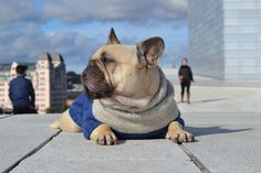 This sweater is custom designed for Einar The Frenchie, a french bulldog. Due to its popularity, I have made additional two smaller sizes.Size:XS - ChihuahuaS - Chinese crested, Shih-Tzu, Bischon FrisèM - French Bulldog and other medium size dogs.Total length: 33-40-51 cm.Back length: Approx. 25-31-38 cm.Yarn:  Drops Nepal 65 % Merino wool, 35 % wool, 50 g=75 m.Skeins: 3-3-4 skeins. (If you want to knit the sweater two colored like the picture, you will need 1-1-1,5 for the top color.)C...