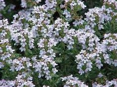 Thymus (tijm) there are many species and any of the low growing plants can be used as a ground cover. They need a sunny place and are very drought tolerant. Herb Garden, Lawn And Garden, Garden Plants, Herb Plants, Garden Steps, Medicinal Plants, Thyme Essential Oil, Organic Essential Oils, Gardens