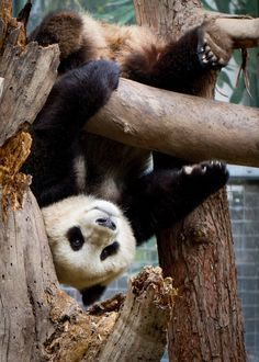 Visit the San Diego Zoo and see the Pandas Panda Bebe, Cute Panda, Animals And Pets, Baby Animals, Baby Pandas, Giant Pandas, Wild Animals, Beautiful Creatures, Animals Beautiful