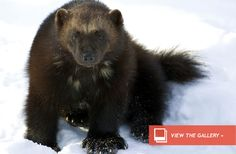 The famous ferocity of wolverines may be no match for climate change. The plight of the animals has led to the U.S. Fish and Wildlife Service proposing to protect the animals under the Endangered Species Act, according to a release from the agency.