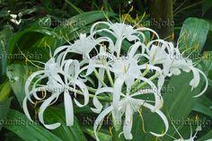 548111 - Spider lily (Hymenocallis eucharidifolia)