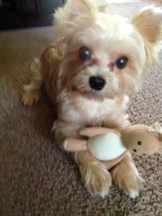 Coco and his toy #morkie