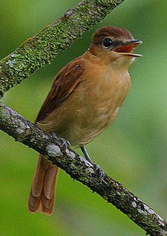 Flickr - Rainbirder - Cinnamon Becard (Pachyramphus cinnamomeus) (1) (cropped).jpgAnambé canelo2 (Pachyramphus cinnamomeus) es una especie de ave paseriforme perteneciente a la familia Tityridae. Este género ha sido emplazado tradicionalmente en la familia Cotingidae o Tyrannidae, pero serias evidencias sugieren que su mejor lugar es Tityridae,3 donde ahora la emplaza la SACC.