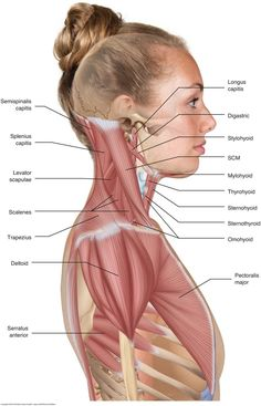 Muscles of the neck / musculature of the cervical spine To perform orthopedic manual therapy to the neck that is accurate and specific, we need to know the attachments and actions of the muscles of the neck… The Human Body, Human Body Anatomy, Human Anatomy And Physiology, Neck Muscle Anatomy, Shoulder Muscle Anatomy, Anatomy Of The Neck, Muscle Diagram, Muscles Of The Neck, Muscular System